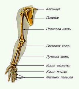 Как выглядит лучевая кость
